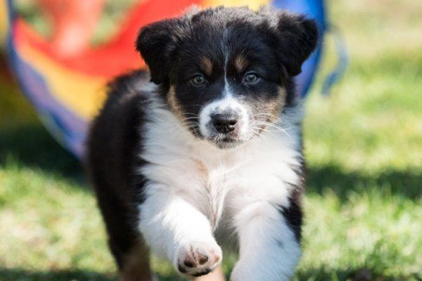 Must see Grey Blue Eye Adorable Dog - Australian-Shepherd-courtesy-Moira-Cornell-photographer-Bethany-Howell-600x400  2018_28985  .jpg