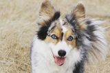 A blue-eyed Cardigan Welsh Corgi.