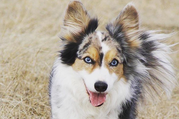 Grey Blue Eyed Dog Breed