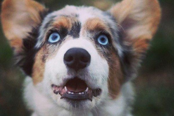 Most Inspiring Grey Blue Eye Adorable Dog - Cardigan-Welsh-Corgi-courtesy-Amanda-Labadie-600x400  HD_93691  .jpg