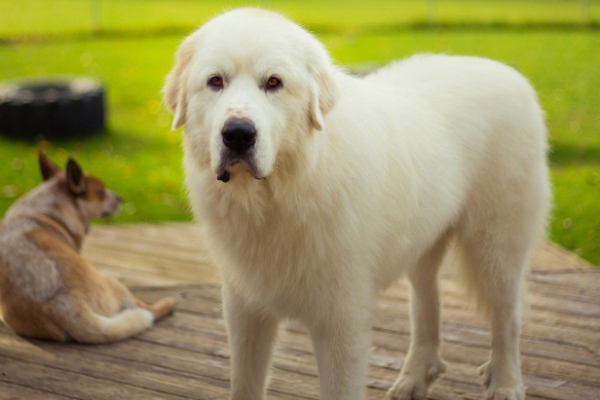 Great Pyrenees.