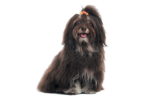 9 reasons to meet the happy go lucky havanese
