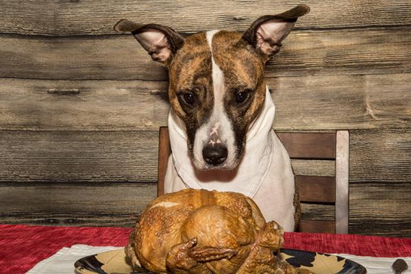 A dog staring at a Thanksgiving turkey.