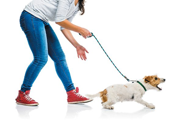 A dog walking on a leash, barking and reacting.
