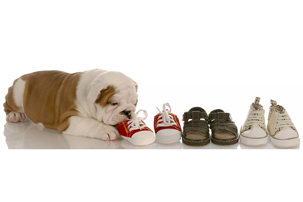 A puppy teething on some shoes.