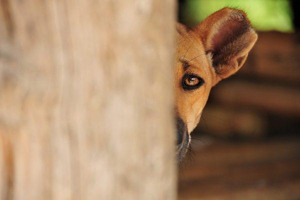 A scared dog hiding.