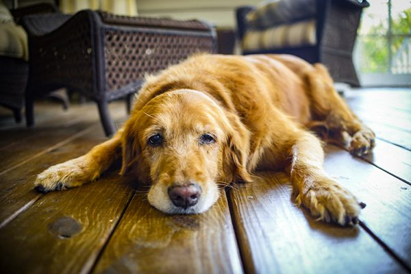 A sick, older dog lying on the floor.