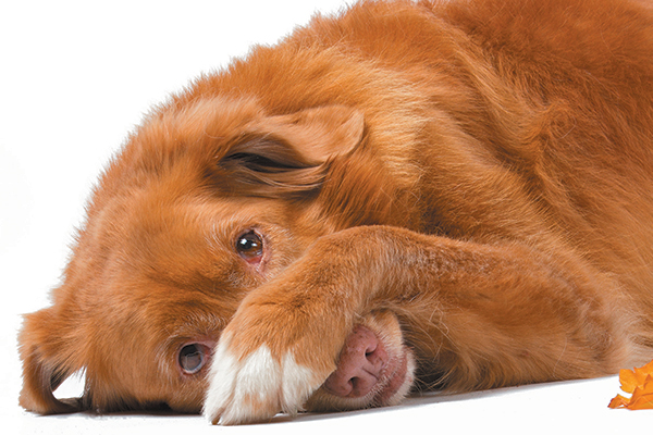 An embarrassed red dog.
