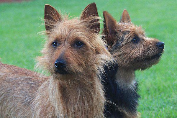 Australian Terrier.