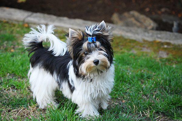 Biewer Terrier.
