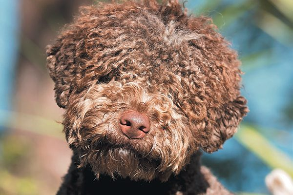 The Lagotto Romagnolo.