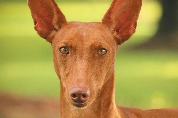 Chestnut Colored Dog Breeds