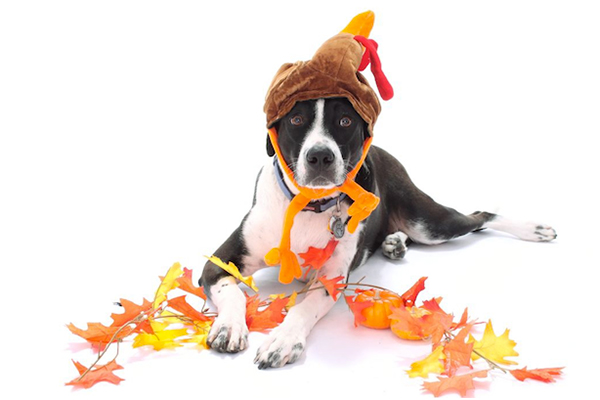 A dog dressed as a Thanksgiving turkey.