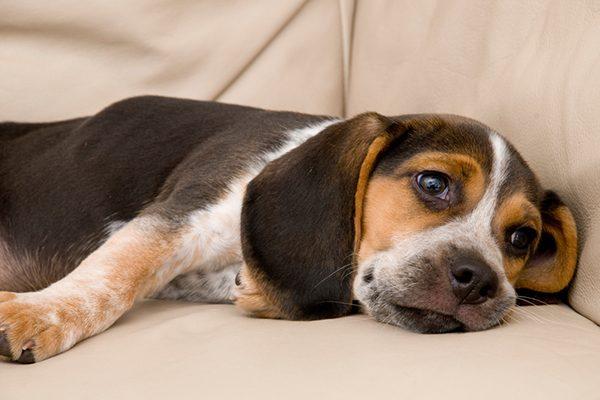A bored, sad or sleepy dog lying on a couch.