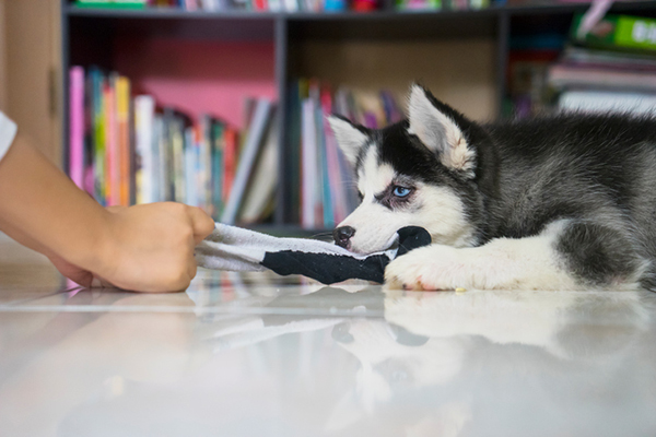 A dog eating or play tug of war with a sock.