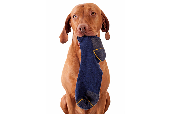 A dog eating a sock.