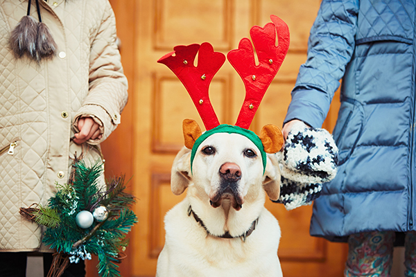 A dog with reindeer antlers on for the holidays, doesn't look too happy.