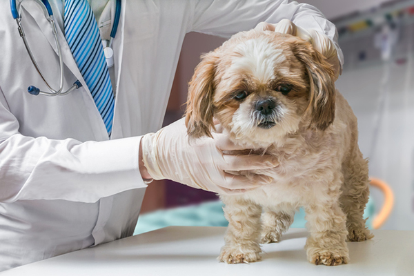 An old dog being examined by a vet.