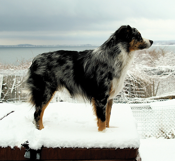 Australian Shepherd Foundation Breed Club.