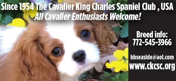 Cavalier King Charles Spaniel.