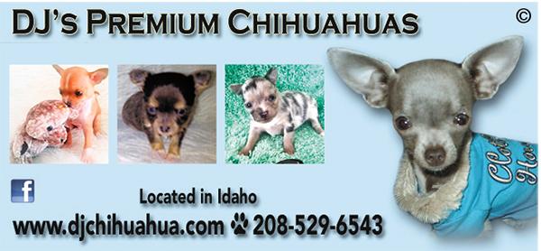 DJ's Premium Chihuahuas.