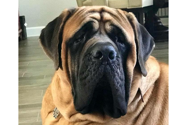 Mastiffs Are Among The Dog Breeds That Make Good Apartment Dogs Photography Courtesy Gie Nevada