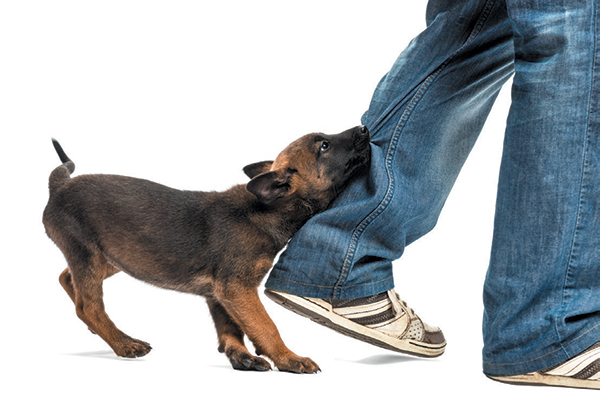 A puppy hanging onto a pant leg and chewing.