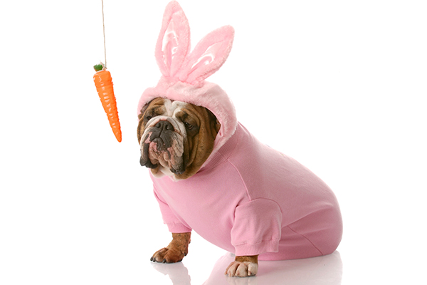 A dog in a bunny costume with a dangling carrot.