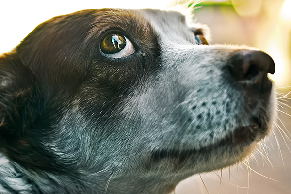 A dog with wide eyes, or whale eyes, looking scared.
