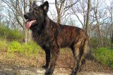Brindle Dutch Shepherd.