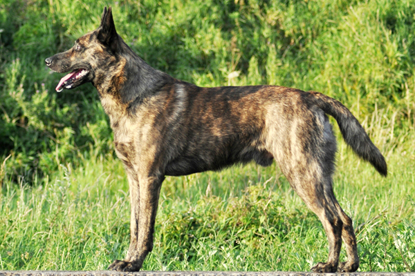 Brindle Dutch Shepherd (short hair).