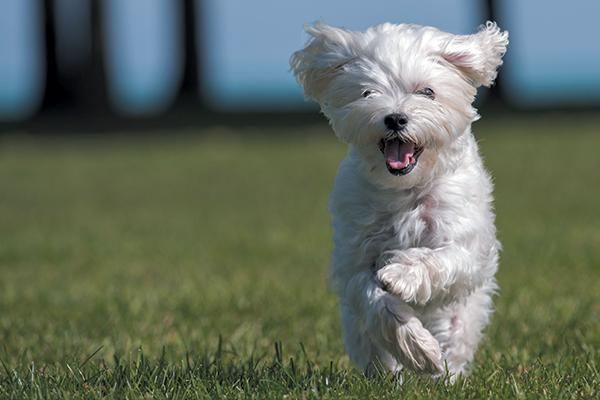 A happy Maltese running.