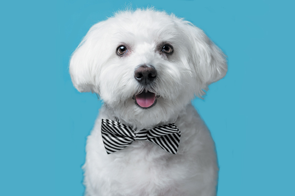 A Maltese in a bow tie.