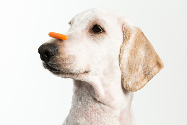 A dog with a carrot veggie treat on his nose.