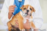 A puppy biting a stethoscope.