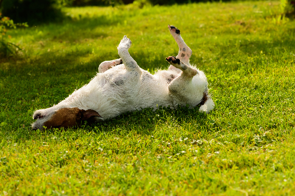 An itchy, scratchy dog rolling around in the grass. Photography by Dora Zett / Shutterstock.