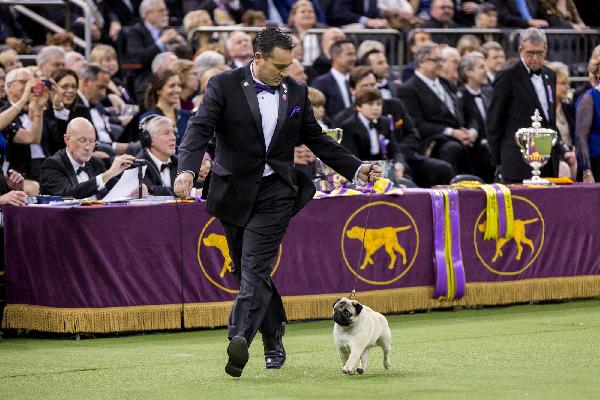 Biggie the Pug.