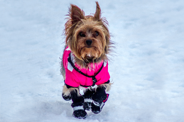 Dog in a jacket, running in the snow.
