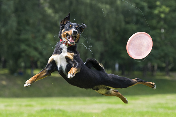 A dog jumping for a frisby