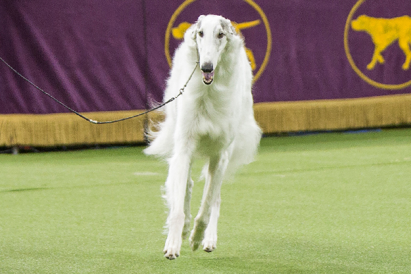 Lucy the Borzoi.