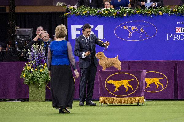 Winston the Norfolk Terrier.