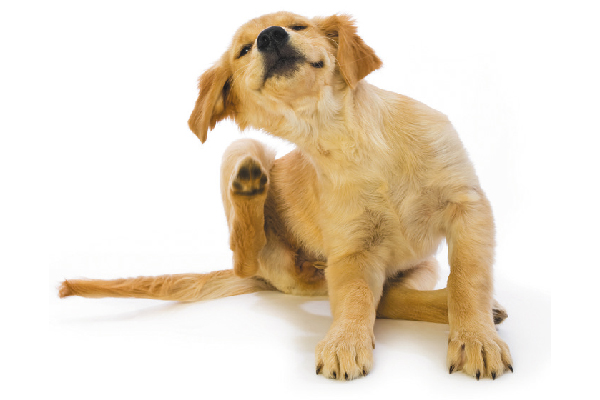 A Golden puppy itching and scratching.