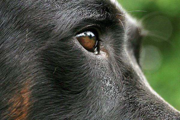 A closeup of a dog eye.