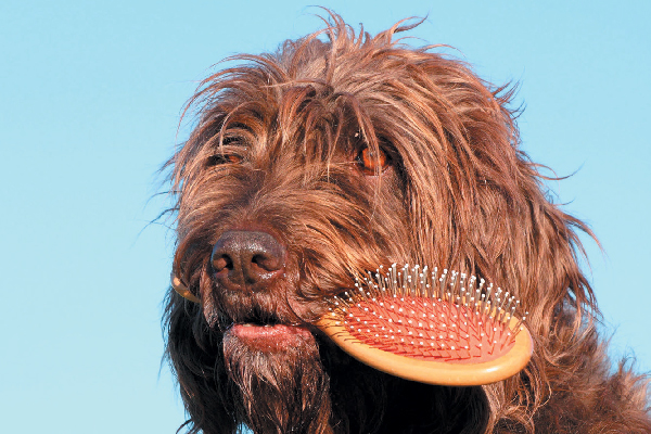 Dog with curly hair holding brush in his mouth.