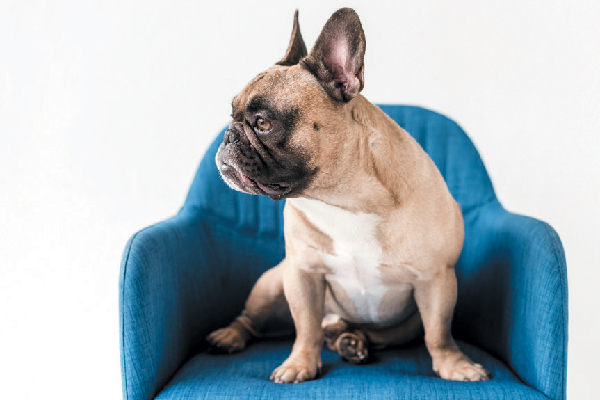 French Bulldog looking away, not interested.