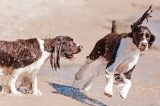 Two English Springer Spaniels.