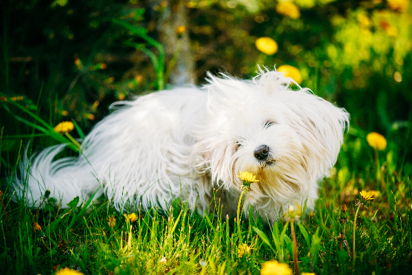 A dog sniffing and itching in a field of flowers and grass.
