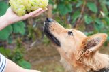 A dog sniffing grapes.