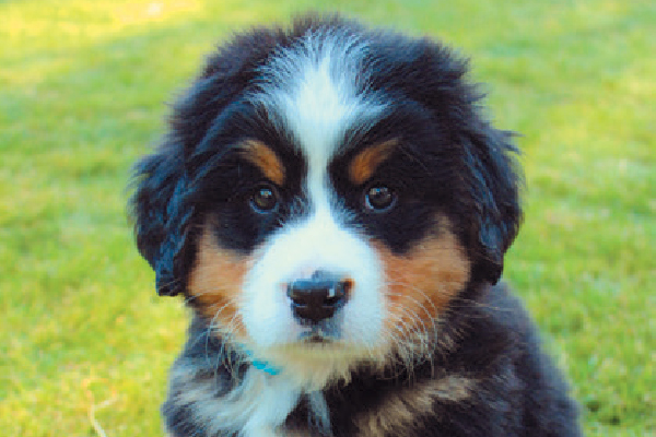 8 Things To Know About The Bernese Mountain Dog