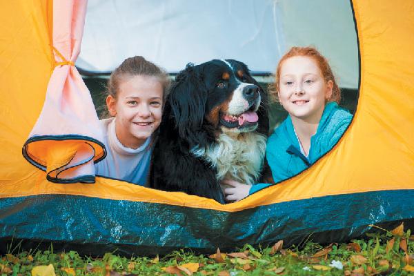 Bernese Mountain Dog camping.